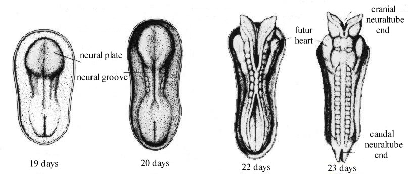 Developpement of the neural tube